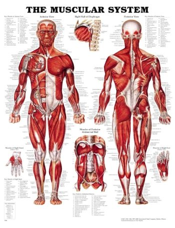 Muscular System 3D Raised Relief Chart (Muscular System Model compare prices)