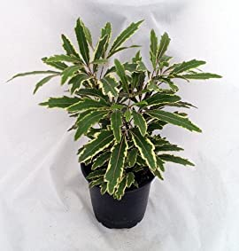 Variegated Galaxy Aralia - 3.5
