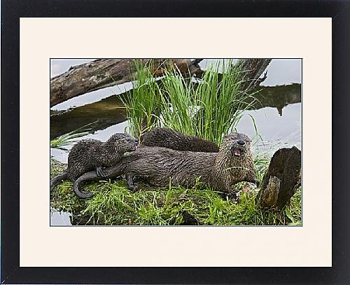 Framed Print Of Tom-1745 Northern River Otter - Mother Eating A Rainbow Trout While Her Young front-961820