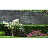 4 Pack - Acoma (White) Crape Myrtle Trees (Color: White)
