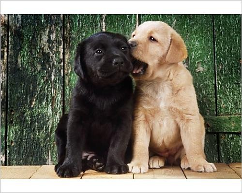 photographic-print-of-black-a-yellow-labrador-dog-puppies-by-barn-door