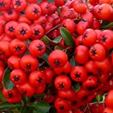 3X PYRACANTHA RED COLUMN PLANTS - EVERGREEN FIRETHORN SHRUBS - P9