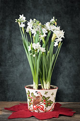 Paperwhites (6) in a Holiday Partridge Cachepot - Pre-Planted! (Forcing Bulbs Containers compare prices)