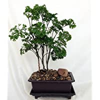 Hirt's Ming Bonsai Tree with Decorative Stone & Saucer - Polyscias