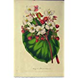 Impresión Antigua de la Flor C1853 Horto Houtteano de Albo-coccinea de la Begonia