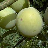 Pflaume Große Grüne Reneklode 10 L Co.