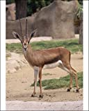 Photographic Print of Cuvier s / Atlas / Edmi Gazelle - endangered, male from Ardea Wildlife Pets