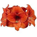 Orange Sovereign Amaryllis - Orange Bare Root 36 cm. Large Bulb