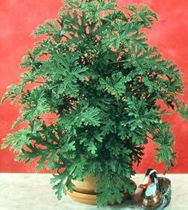 Amazon Com 6 Plants Citronella Plant Horticultural