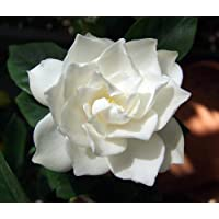 Corsage Gardenia Plant - Gardenia jasminoides -Grow Indoors or Out-Very Fragrant