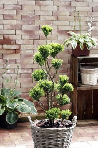 zypresse chamaecyparis elwoodii pon pon ca 60 80 cm. Black Bedroom Furniture Sets. Home Design Ideas