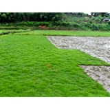 500pcs Korean lawn grass seeds (Zoysia Tenuifolia) Evergreen Lawn Seeds j693