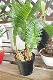 【ラッピング代込】 観葉植物 ソテツ 4.5寸鉢 【ギフト】【送料込】