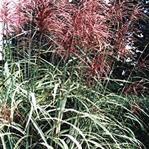 10 red maiden grass miscanthus sinensis for Ornamental grasses with plumes