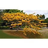 Yellow Royal Ponciana Flamboyant Delonix Regia 20 Seeds