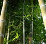 Phyllostachys heterocycla pubescens...