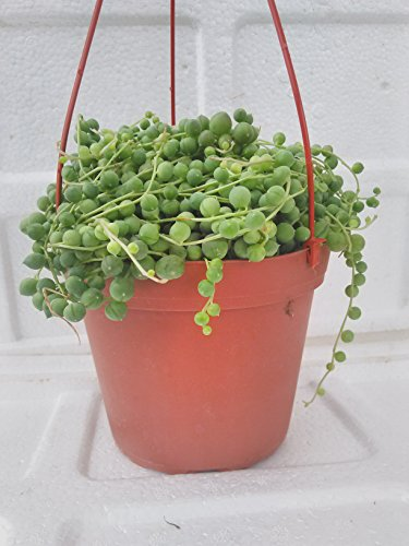 Jmbamboo - Large String of Pearls Succulent- 6