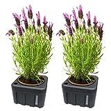 2 Stück Set Pflanzen Blumen Wasser Spender , Bewässerung mit 1 Liter Speicher und herausnehmbaren Topf . Wasserspender mit Füllstandanzeige
