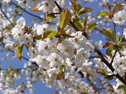 100 Wild Cherry Trees 2-3ft Stunning Blossom, Edible Cherries & Wild Bird Food