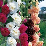 HOLLYHOCK DOUBLE MIXED FLOWER SEEDS -Alcea Rosea -Mixed Colour Pack Of 30 Seeds. By Seedscare India