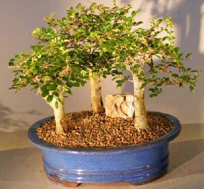 How to quit bonsai boy 39 s chinese elm bonsai tree 3 tree for Bonsai comprare