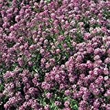 Just Seed - Flower - Alyssum - Royal Carpet - 15000 Seed Annual - Large Packet