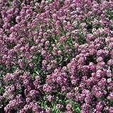 Just Seed - Flower - Alyssum - Royal Carpet - 15000 Seed Annual - Large Packet