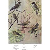 """7.5"""" X 11"""" Double-Sided 1955 Colour Plate Larks & Pewee, Flycatcher, Phoebe ~ Colour Plate"""
