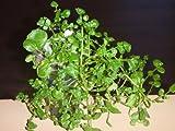 家庭用 ハーブの水耕栽培キット 窓際族(窓辺でクレソン)