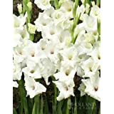White Gladiolus Value Bag