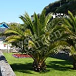 Pair of Hardy Canary Island Date Palm...