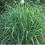 SeeKay Lemon Grass (east Indian) 200 seeds