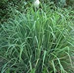 SeeKay Lemon Grass (east Indian) 200...