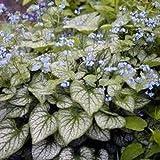 Brunnera macrophylla 'Jack Frost' (Siberian Bugloss) 2 ltr pot