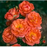 Beautiful Sunrise Miniature Climbing Rose - Potted Rose in a 3 litre pot - Ideal for Planters
