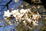 'Little Twist' Flowering Cherry Tree - Prunus - Hardy