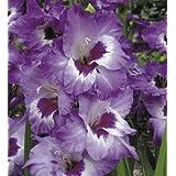 Vista Purple & White Gladioli (20) Beautiful Flowering Perennials, Sword Lily, Gladiolus Bulbs/Corms - clarence