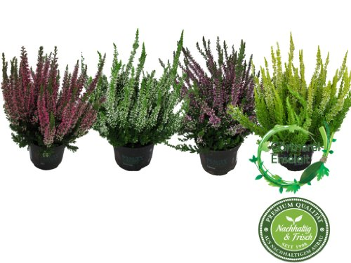 calluna vulgaris im 4er set besenheide winterheide calluna vulgaris beauty ladys. Black Bedroom Furniture Sets. Home Design Ideas