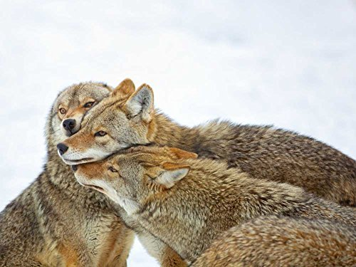 Coyote Hug -Oil Painting On Canvas Modern Wall Art Pictures For Home Decoration Wooden Framed (20X16 Inch, Framed)