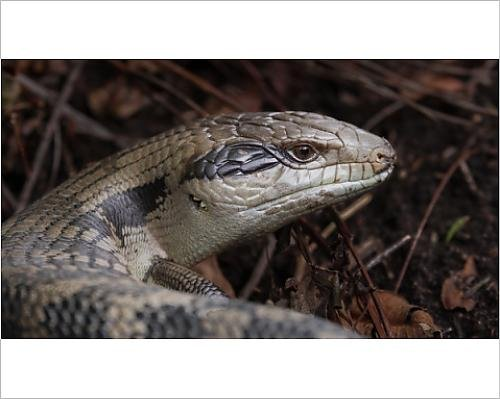 photographic-print-of-handsome-blue-tongue-lizard