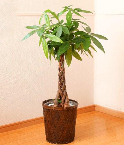 【送料無料】パキラ7号鉢カゴ入り【インテリアグリーン】【観葉植物】【誕生日】【お祝い】