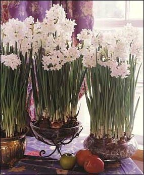 Narcissus Ziva Paperwhites, 20 bulbs - 17+cm