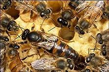 Queen Honey Bee with workers