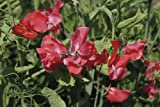 Just Seed - Flower - Sweet Pea - Spencer Type - Geranium Pink - 50 Seeds
