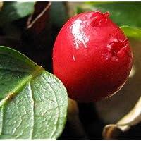 Partridge Berry - Mitchella repens - 3