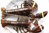 高級特大活オマールエビ(ロブスター)(500g?550g)2尾[カナダ産]★お歳暮!活きているオマール海老ですから、刺し身や寿司で美味しいです!焼く、蒸す、茹でるの簡単料理が美味しいです!