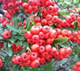 Pyracantha coccinea 'Red Column' (Firethorn) 2 ltr pot
