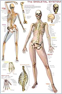 HUGE LAMINATED/ENCAPSULATED Skeletal System POSTER measures approx 36x24 inches (91.5x61cm)