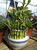 Lucky Bamboo 3 Tier Tower in a Ceramic Blue and White Rice Bowl