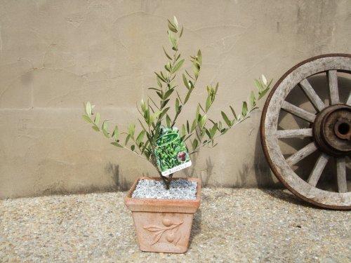 オリーブ 鉢植え OLS18